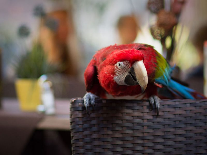 Restaurant Edeskert – Our lovely parrot Lilu :)